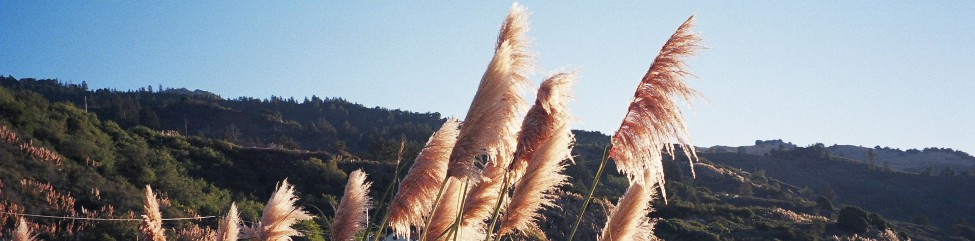 Reed panicles